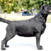 Дисплазія тазостегнових суглобів у собак