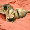 Характер абіссінської кішки