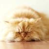 Характер персидських кішок