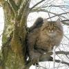 Характер сибірської кішки - широка душа і тепла шубка