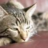 Інсульт у кішок