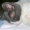 Екзема у кішок