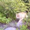 Екзотична короткошерста кішка