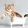 Як часто можна мити котів?