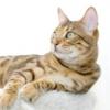 Як годувати кастрованих котів