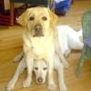 """Як навчити цуценя або собаку команді """"лежати""""?"""