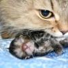 Як зрозуміти, що кішка народжує