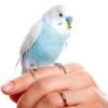 Як привчити папугу до рук