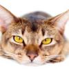 Як збити температуру у кішки