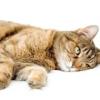 Як викликати блювоту у кішки