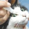 Як закапати очі кішці