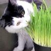 Яку траву люблять кішки?