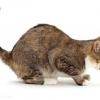Кашель у кішки - причини, лікування