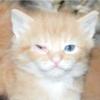 Кон'юнктивіт у кішок