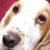 Кон'юнктивіт у собак