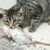Кішки щуролови: що про них треба знати?