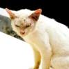 Лікування корости у кішок (демодекоз)