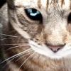 Лікування кон'юнктивіту у кішок