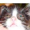 Лікування ринотрахеита у кішок