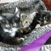 Кращі породи кішок для дому та дітей