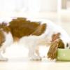 Чи можна годувати собак котячим кормом