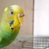 Наріст на дзьобі у хвилястого папугу