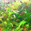 Невибагливі акваріумні рибки