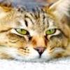 Нормальна температура у кішок: 38-39 градусів. як виміряти і що робити?