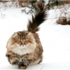 Норвезька лісова кішка