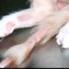 Облисіння у кішки: причини і лікування