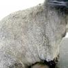 Лупа у кішок - причини і лікування