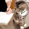 Перитоніт у кішок