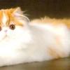 Перські кішки