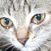 Чому у кішки сльозяться очі? причини, симптоми і лікування