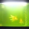 Чому зеленіє вода в акваріумі