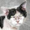 Підшкірний кліщ (демодекоз) у кішок