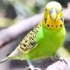 Пронос у хвилястого папугу