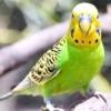 Тривалість життя хвилястих папуг