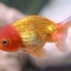 Ранчо (золота рибка)