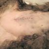Реабілітація кота після кастрації. поради по догляду після операції