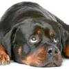Ротвейлер: характер собаки, утримання і виховання ротвейлера.