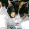 Блювота у кішок