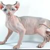 Найдорожчі породи кішок