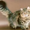 Найбільші породи кішок