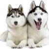 Сибірський хаскі: характеристика породи, дресирування та утримання собаки.