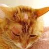 Стригучий лишай у кішок