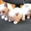 У якому віці брати кошеня