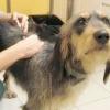 Вірусний ентерит у собак