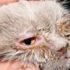 Хламідіоз у кішок симптоми, лікування