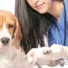 Як обробити рану собаці